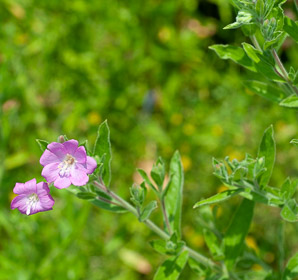 Epilobium hirsutum (great willowherb, hairy willow-herb, great hairy willowherb, apple-pie, cherry-pie, codlins-and-cream)