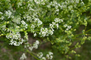 Galium mollugo (Smooth Bedstraw, False Baby's Breath, Upright Bedstraw, Upright Hedge Bedstraw, White Bedstraw, Wild Madder)