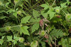 Geum laciniatum (rough avens, hairy herb-bennet)