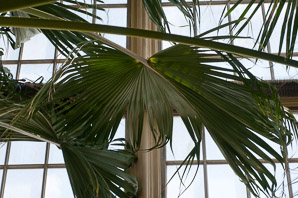 Livistona chinensis (Chinese Fan Palm)
