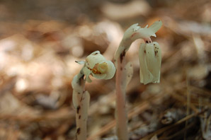Monotropa uniflora (Indian pipe, ghost plant, corpse plant, Indianpipe, Indian pipes)