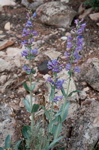 Penstemon fendleri (Fendler's Penstemon)
