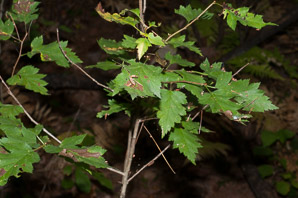 Physocarpus opulifolius (Atlantic Ninebark, Common Ninebark)