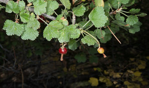 Ribes rubrum (Red Currant)