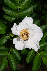 Rosa canina (Dog Rose)