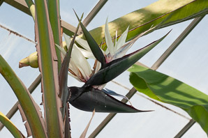 Strelitzia nicolai (Giant Bird of Paradise)
