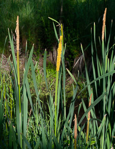 Typha angustifolia (Narrow-leaved Cattails, Narrowleaf Cattail, Lesser Bulrush, Lesser Reedmace)