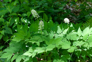 Actaea rubra (Red Baneberry, Red Cohosh, Snakeberry, Cohosh)