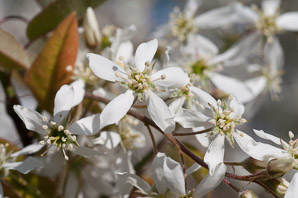 Amelanchier canadensis (Clumping Serviceberry, Juneberry, Shadbush)