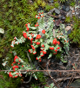 Cladonia cristatella (British soldiers, cup lichen, British Soliders)