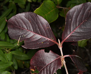 Cornus sericea (Red Osier Dogwood)