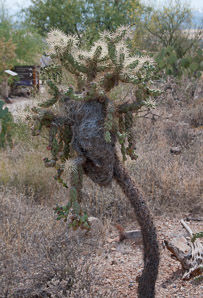 Cylindropuntia fulgida (Jumping Cholla, Chain-fruit Cholla, Boxing-glove Cactus, Boxing-glove Cholla, Brinkadora, Club Cactus, Smooth Chain-fruit Cholla, Sonoran Jumping Cholla)