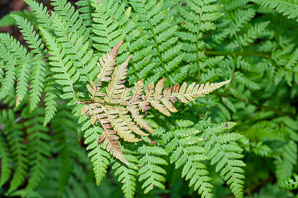 Dryopteris carthusiana (Spinulose Wood Fern, Spreading Wood Fern, Toothed Wood Fern, Narrow Buckler Fern)
