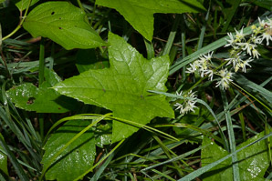 Echinocystis lobata (Wild Cucumber, Balsam Apple, Prickly Cucumber, Wild Balsam Apple)
