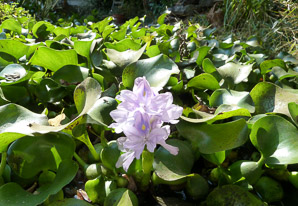 Eichhornia crassipes (Water Hyacinth)