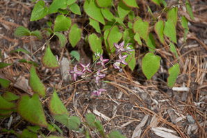 Epimedium × (Bishops Caps, Red Epimedium, Red Barrenwort, Bishop's Caps)