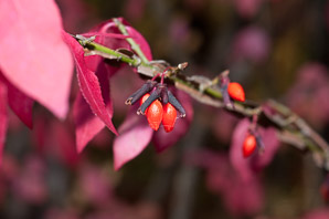 Euonymus alatus (Burning Bush, Winged Spindle, Winged Euonymus)