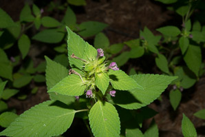 Galeopsis tetrahit (Common Hemp-nettle)