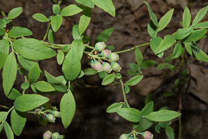 Gaylussacia baccata (Black Huckleberry, Common Huckleberry)