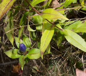 Gentiana andrewsii (Prairie Closed Gentian, Bottle Gentian, Closed Bottle Gentian)