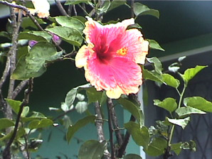 Hibiscus (hibiscus, rose of Sharon)