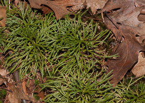Lycopodium complanatum (Northern Brown Cedar, Flat-branched Club Moss)