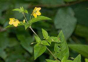 Lysimachia quadrifolia (Whorled Loosestrife, Yellow Whorled Loosestrife, Whorled Yellow Loosestrife)
