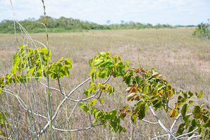 Metopium toxiferum (Poisonwood, Florida Poisontree, Hog Gum)
