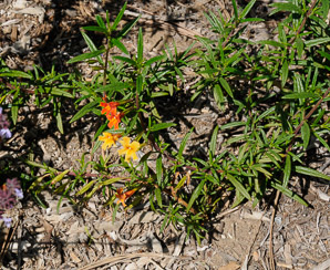 Mimulus puniceus (Red Monkeyflower)