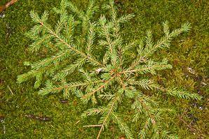 Picea rubens (Red Spruce, Eastern Spruce, Yellow Spruce)