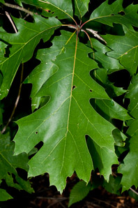 Quercus rubra (Northern Red Oak, Champion Oak, Red Oak)