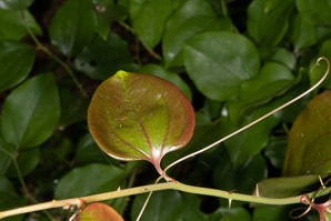 Smilax rotundifolia (Common Greenbrier)