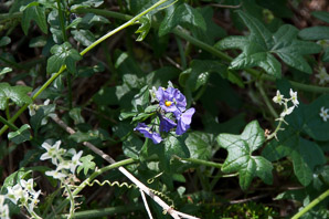 Solanum parishii (Parish's Purple Nightshade)