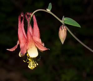 Aquilegia canadensis (Red Columbine, American Columbine, Eastern Columbine, Canada Columbine, Meetinghouses, Rock Bells, Honeysuckle, Rock Lily, Cluckies, Jack-in-trousers, Wild Honeysuckle, Granny's Bonnets, Dancing Fairies, Wild Columbine)