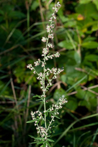 Artemisia vulgaris (Wormwood, Mugwort, Common Mugwort, Common Wormwood)