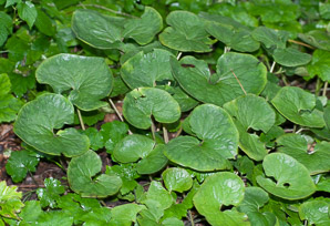 Asarum canadense (Wild Ginger, Canada Wild Ginger, Canadian Snakeroot, Broad-leaved Asarabaccais)