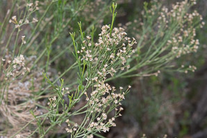 Baccharis sarothroides (desertbroom, greasewood, rosin-bush, groundsel)