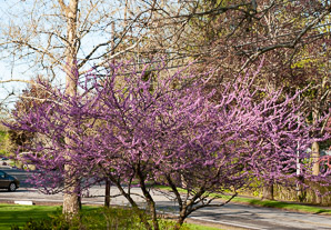 Cercis canadensis (Eastern Redbud)