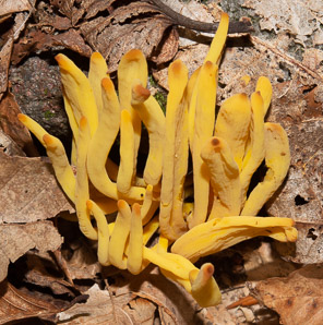 Clavulinopsis fusiformis (golden spindles)