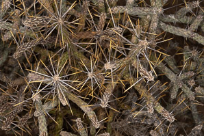 Cylindropuntia ramosissima (diamond cholla, diamond-plated pencil cholla, branched pencil cholla)