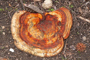 Fomitopsis pinicola (Red-banded Polypore, Red-belted Polypore)