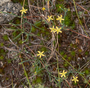 Hypericum gentianoides (Pineweed, Orange Grass)