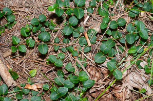Mitchella repens (Partridgeberry, Squaw Vine)