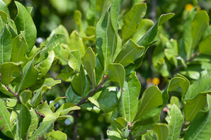 Morella pensylvanica (bayberry, northern bayberry)