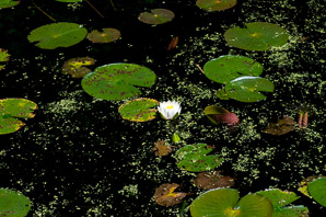 Nymphaea odorata (fragrant white water lily)