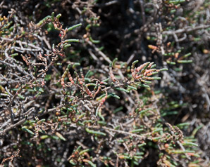 Sarcocornia pacifica (Pickleweed, Pacific Swampweed)