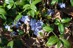 Vinca minor (Myrtle, Periwinkle, Common Periwinkle, Creeping Myrtle)