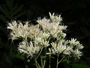 Ageratina altissima (White Snakeroot, Tall Boneset, White Sanicle)