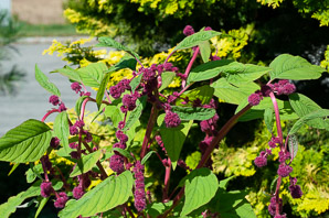 Amaranthus 'Dreadlocks'