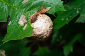 Andricus kollari (Oak Marble Gall, Oak Marble Gall caused by Gall Wasp)
